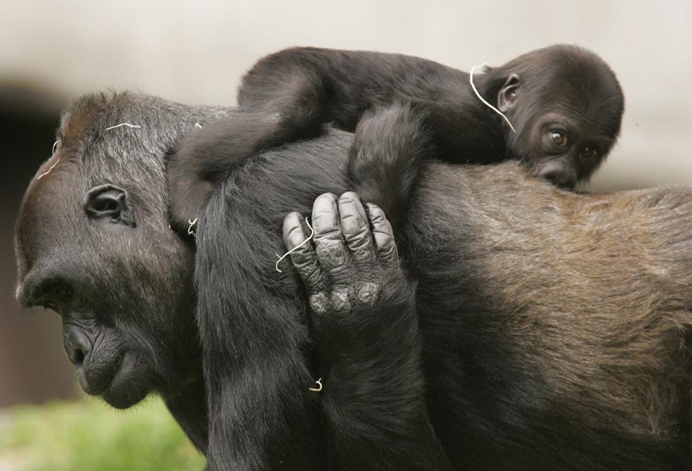 """Хасани, шестимесячный детеныш западной равнинной гориллы, едет на  спине своей приемной матери Баванг в зоопарке Сан-Франциско в пятницу, 5 июня, 2009. Хасани, чье имя  на языке суахили означает """"красивый"""", это первая горилла, рожденная в неволе за последние 11 лет. Баванг, 29 летняя самка стала приемной матерью Хасани после того, как его бросила собственная мать Монифа. Естественной средой обитания западных равнинных горилл является Центральная Африка. В настоящее время этот вид внесен в список находящихся под угрозой исчезновения. (AP Photo/ Marcio Jose Sanchez)"""