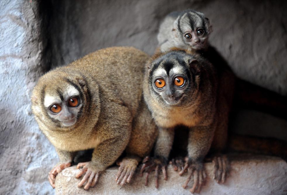 Маленькая ночная обезьянка лемуровый дуркуль (Aotus Lemurinus), родившийся в неволе месяц назад, взбирается на спину своей матери. Фото сделано 19 мая в зоопарке Санта-Фе, в Медельине, департамент Антиокия, Колумбия. Лемуровый дуркуль является вымирающим видом. (AFP/Getty Images/Raul Arboleda)