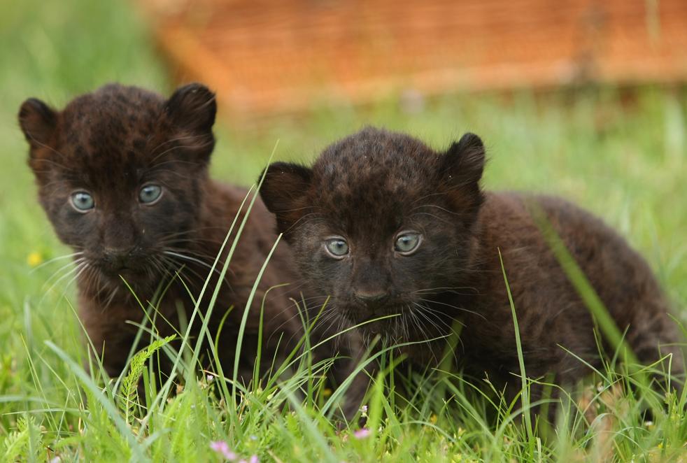 Новорожденные пантеры Лариса и Сипура внимательно смотрят в камеры фотографов во время своей презентации средствам массовой информации в зоопарке Тиерпарк (Tierpark) 9 июня в Берлине. Пантеры-близняшки родились 26 апреля. (Getty Images/Sean Gallup)