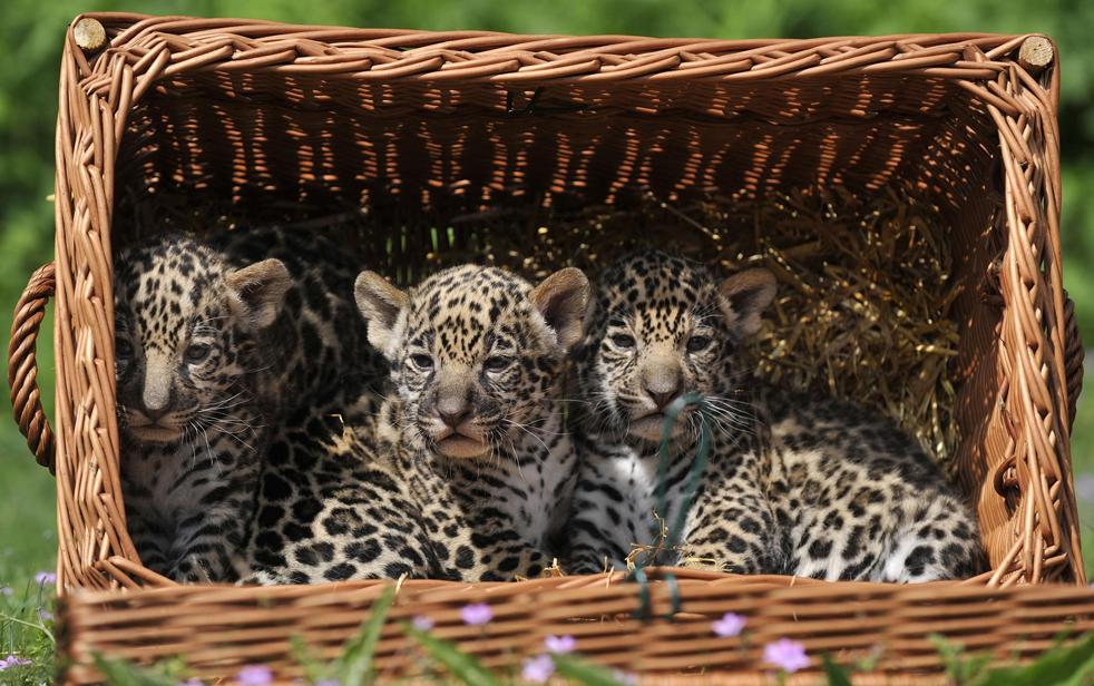 Детеныши ягуара в зоопарке Тиерпарк в Берлине во вторник, 19 мая. Этих тройняшек, которые родились 16 апреля, назвали Atiero, Jumanes и Valdivia. (AP/Gero Breloer)