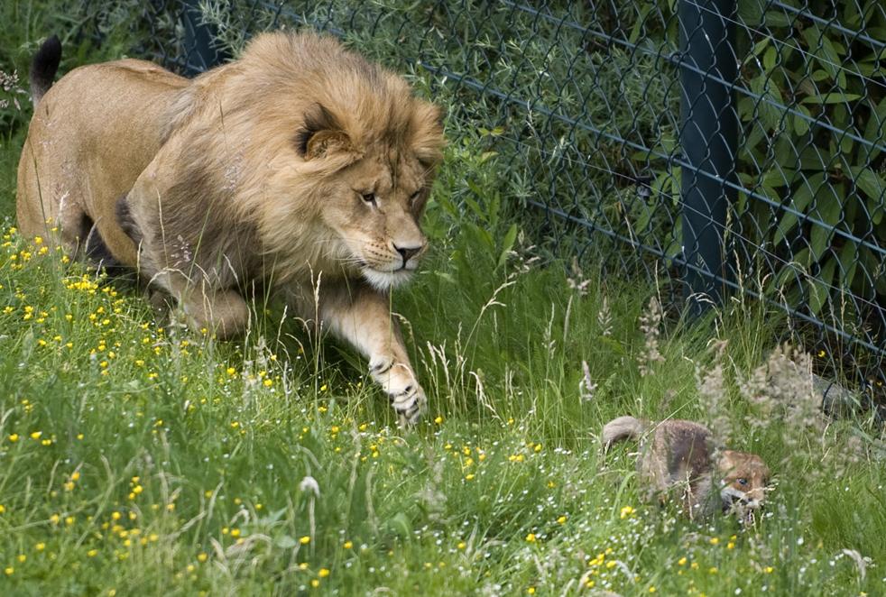 Лев гонится за маленьким лисенком в немецком зоопарке Вупперталь, в пятницу, 5 июня. Лиса попала в вольер ко львам по ошибке, и, очевидно, не имели большого удовольствия от игр с большими кошками. Но ей удалось выбраться оттуда невредимой. (AP/Martin Meissner)