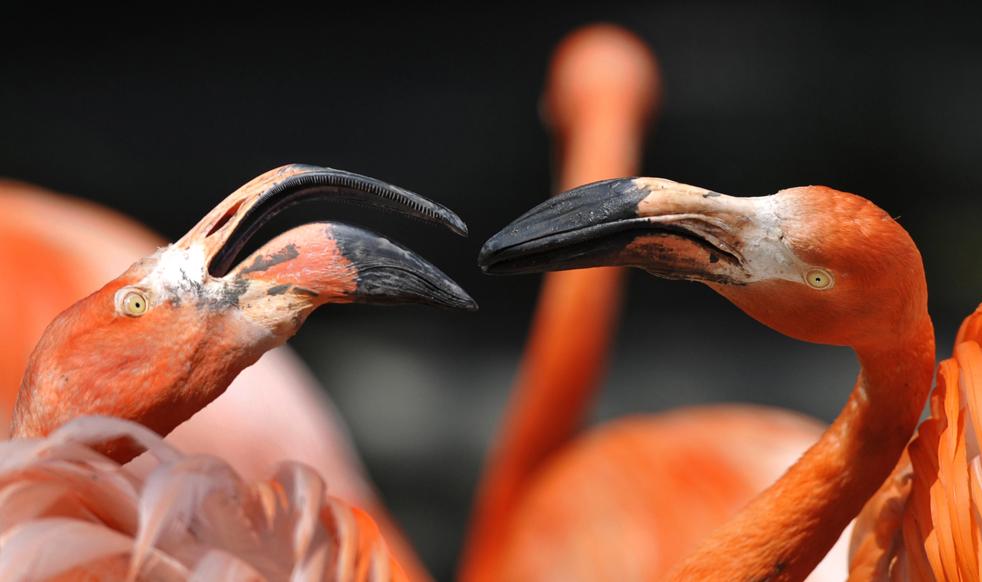 Фламинго страдают от жары, когда температуры в зоологическом саду в Дрездене поднялась до 29 градусов по Цельсию, во вторник, 26 мая. (AP/Matthias Rietchel)