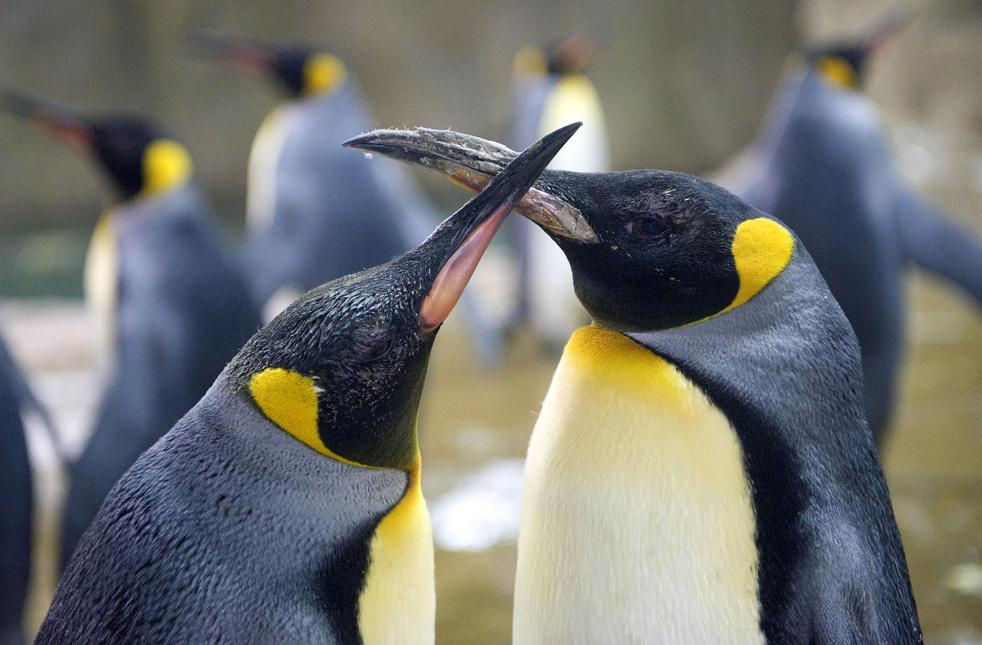 Два королевских пингвина в немецком зоопарке Вупперталь, в пятницу, 5 июня. (AP/Martin Meissner)