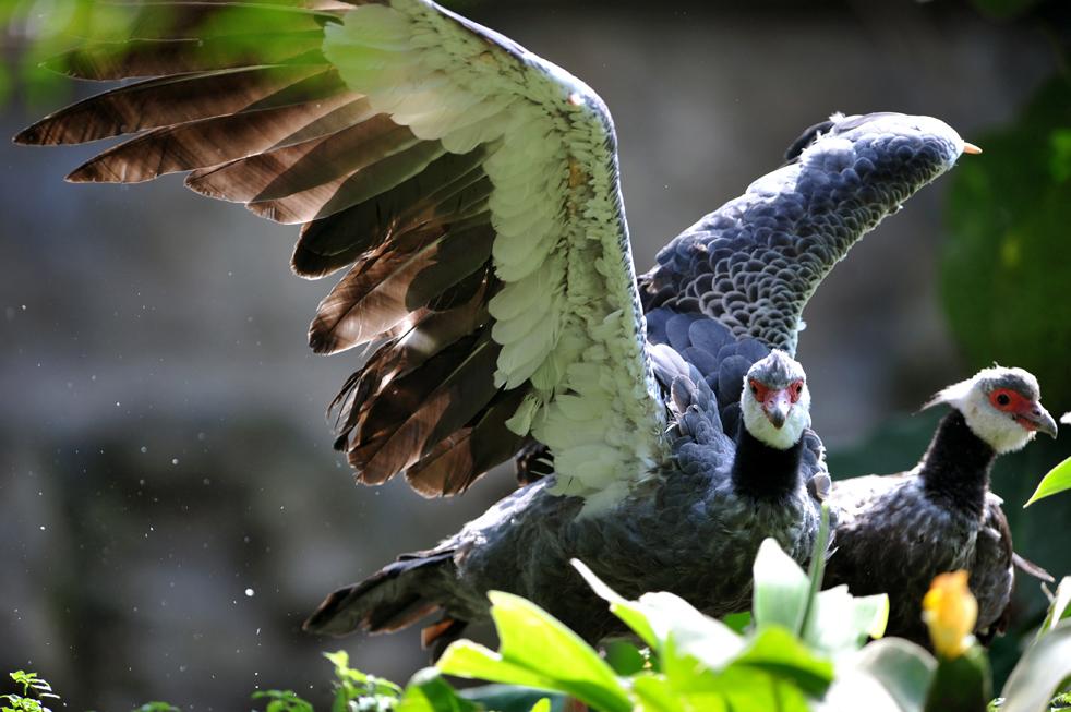Хохлатый крикун (Chauna chavarria) в зоопарке в Кали 23 мая. (AFP/Getty Images/Luis Robayo)
