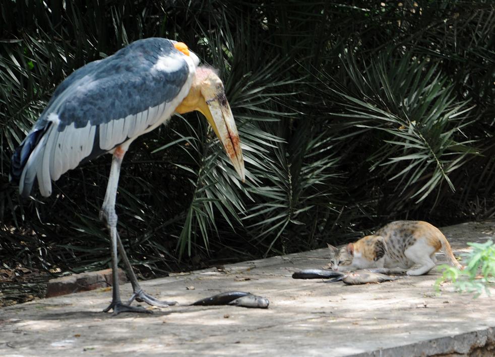 Кошка крадет рыбу у аистов в зоопарке Нью-Дели 6 июня. в индийской столице сохраняется неослабевающая жара, температура достигла 44 градусов по Цельсию. Также прогнозируется полоса сильной жары, которая пройдет по равнинам северной Индии. (AFP/Getty Images/Raveendran)