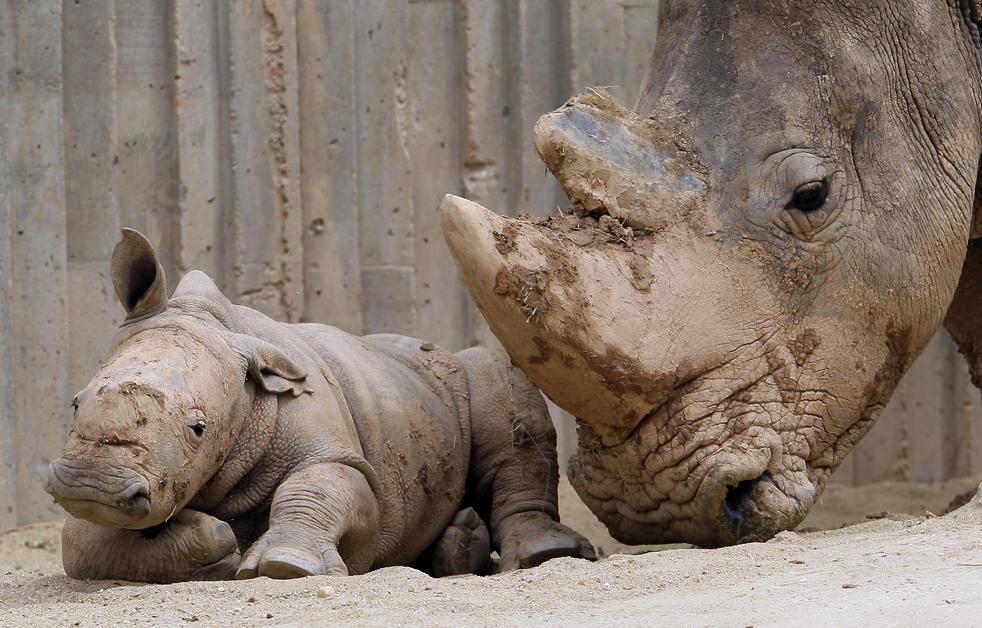Детеныш редкого белого носорога лежит рядом со своей матерью Мариной Мадридском зоопарке в четверг, 4 июня. Этот маленький носорог, у которого еще нет имени, третий в мире который родился в результате искусственного осеменения. (AP/Victor R. Caivano)