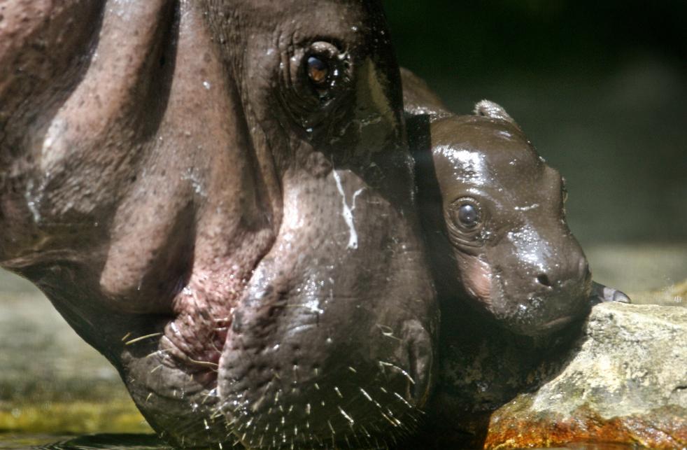 Однодневный карликовый гиппопотам со своей матерью Миной в Сингапурском зоопарке в пятницу, 5 июня. Мина родила уже восемь детенышей. В Сингапурском зоопарке успешно размножаются животные. Кроме того, тут постоянно проходят программы по просвещению общественности о сохранении дикой природы. (AP/Wong Maye-E)