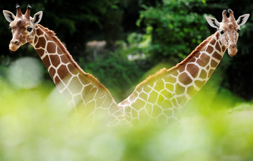 Два молодых жирафа ходят по своему вольеру в зоопарке западно-немецкого города Дуйсбург 3 июня. Жирафа справа зовут Кимони, слева – Линда. (AFP/Getty Images/ Clemens Bilan)