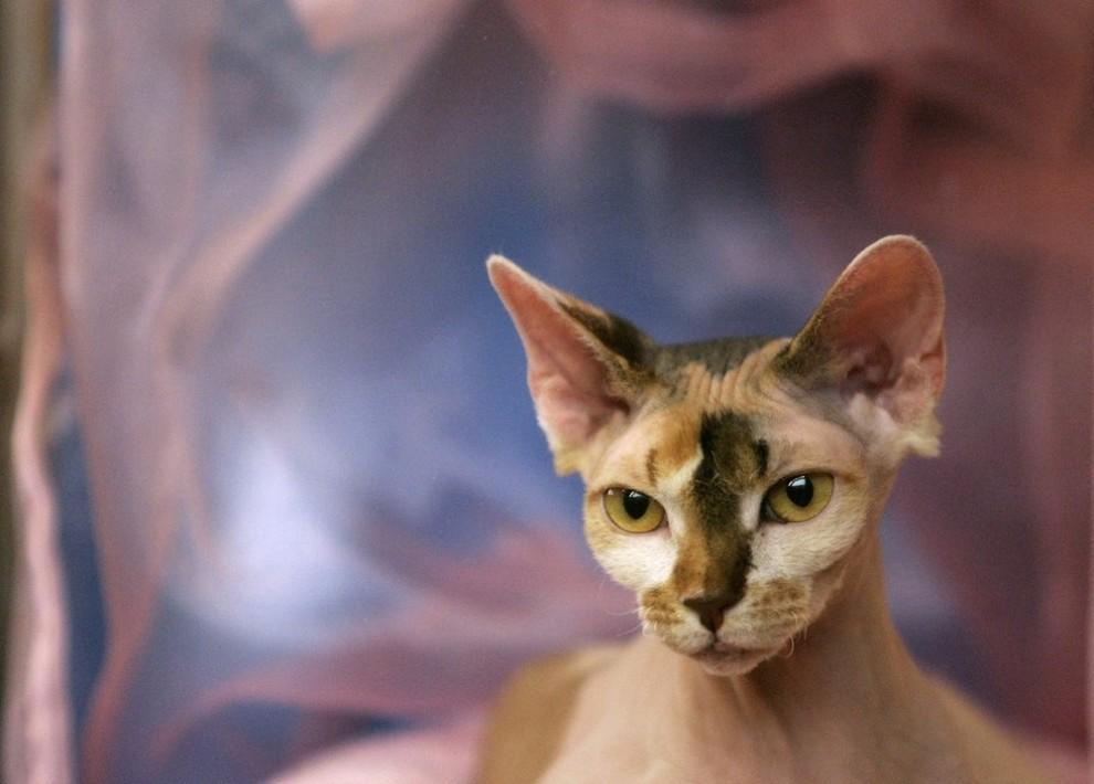) Кошка лежит в своей клетке на международной пражской выставке 25 июля 2009 (REUTERS/David W Cerny)