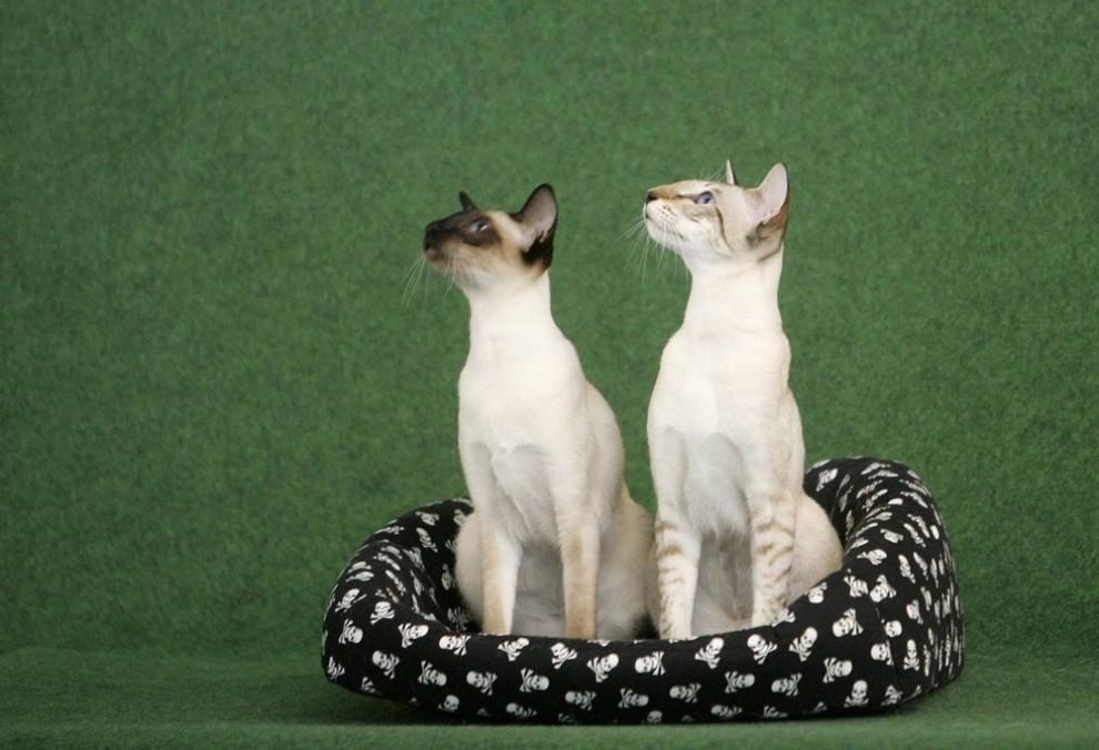 ) Кошки позируют фотографу во время двухдневной международной выставки в Праге, которая проходит в эти выходные. Снимок сделан 25 июля 2009 (REUTERS/David W Cerny)