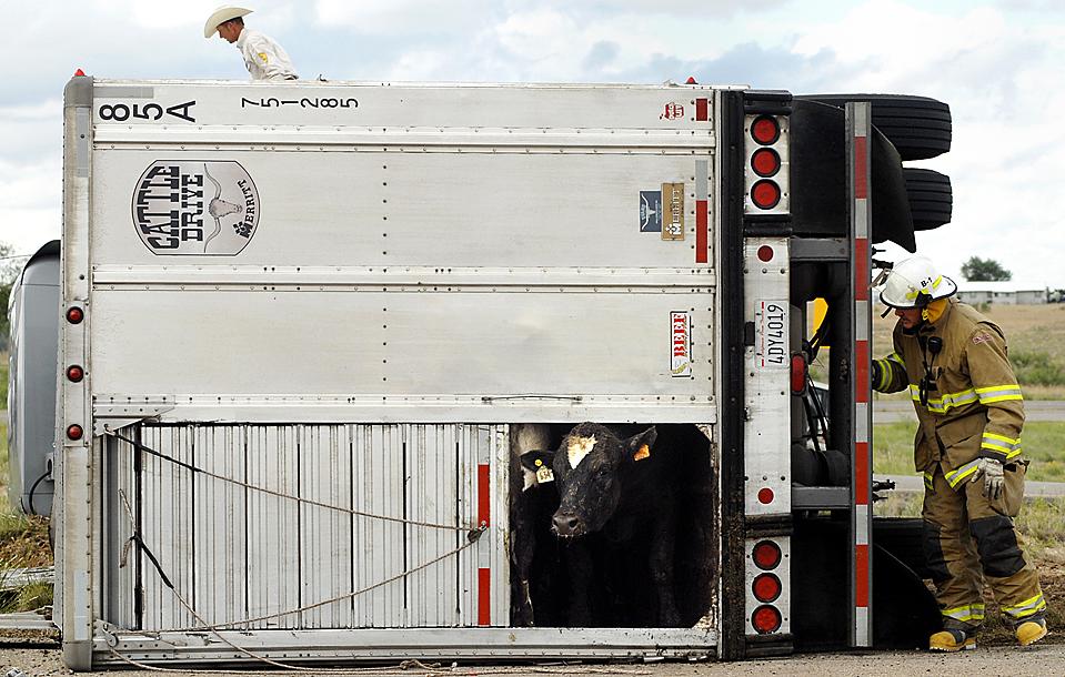 9) Пожарный пытается выманить корову из перевернутого грузового прицепа в городе Росвел, штат Нью-Мексико. (Mark Wilson/Roswell Daily Record via Associated Press)