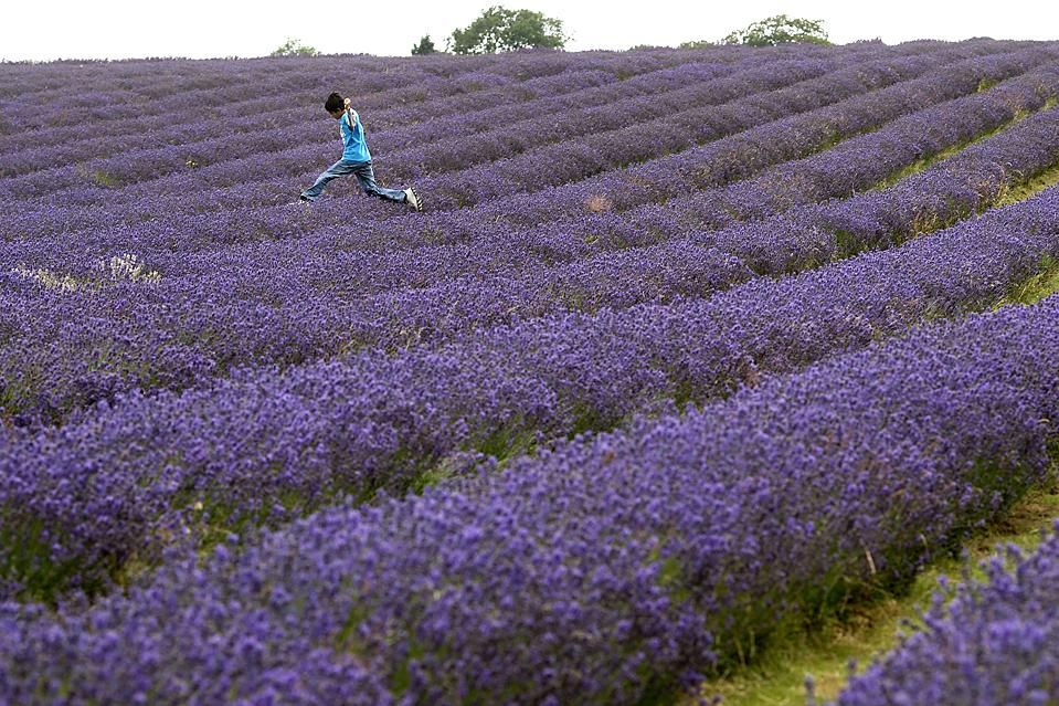 14) Мальчик прыгает в лаванду на поле в пригороде Лондона. (Sang Tan/Associated Press)