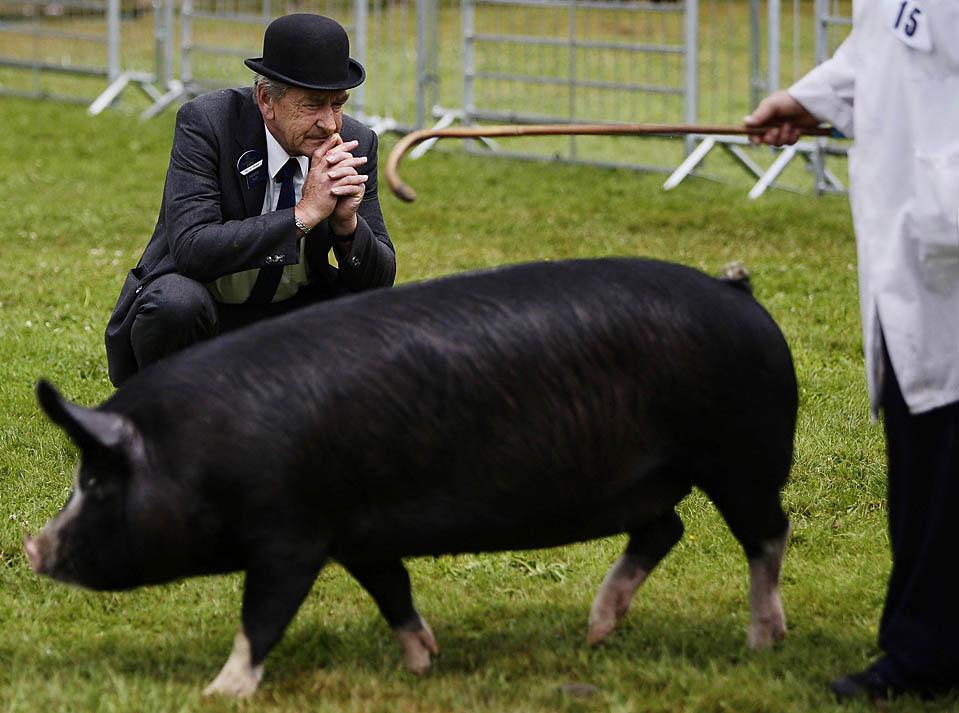 13) Судья осматривает свинью во время 160-го и последнего Королевского шоу в Stoneleigh, центральной Англии, во вторник. Это мероприятие будет отменено из-за значительного сокращения числа посетителей, плохой погоды и вспышек болезней. (Darren Staples/Reuters)