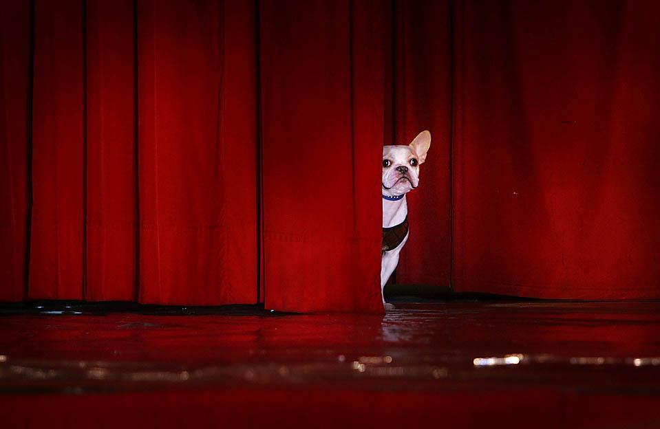 Французский бульдог выглядывает из-за занавеса на сцене перед началом показа мод для собак в Тайбэе. (Wally Santana/Associated Press)