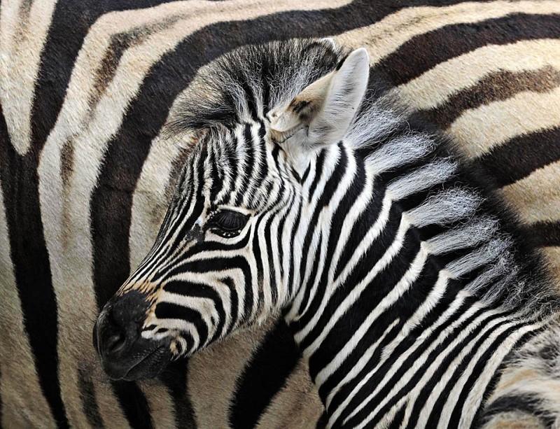6) Детеныш зебры, который родился 8 июля, стоит рядом со своей матерью в зоопарке Эрфурт в центральной Германии. (Jens Meyer/Associated Press)
