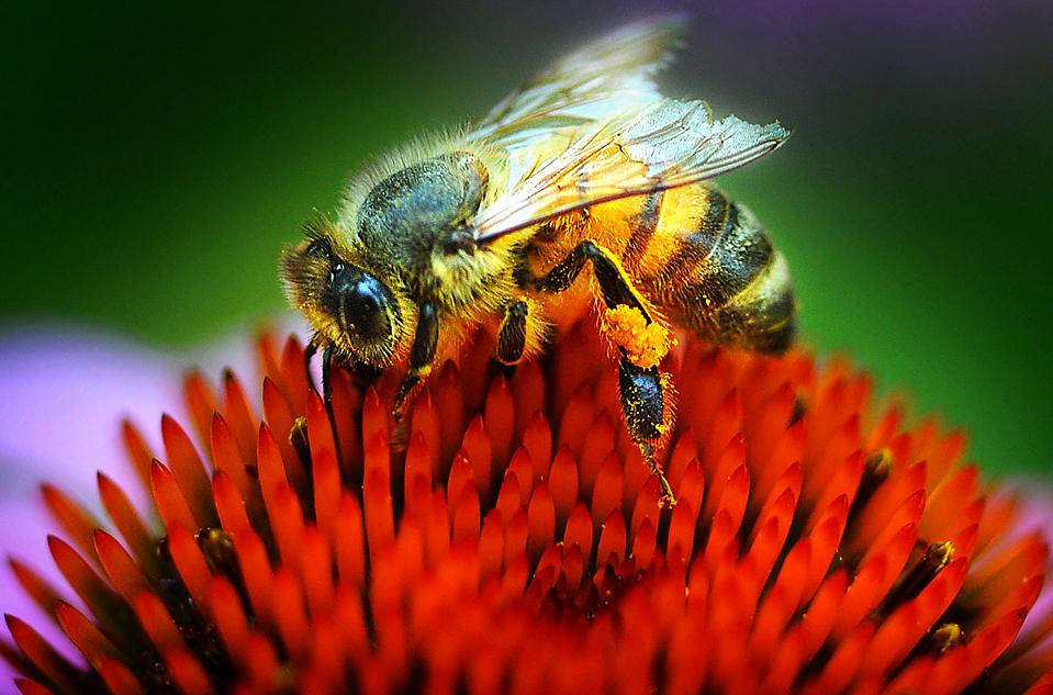 7) Пчела на цветке эхинацеи. Снимок сделан в саду в городе Салина, штат Канзас. (Tom Dorsey/Salina Journal via Associated Press)