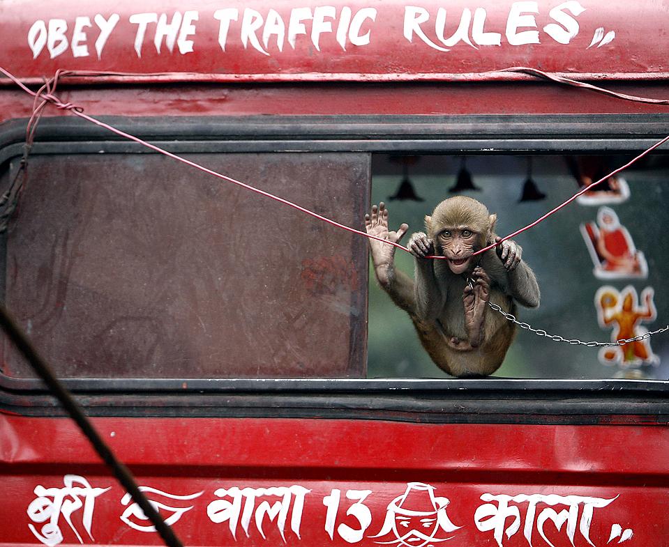 12) Ручная обезьянка в грузовике в индийском городе Кокальта. Надписи на грузовике: сверху – «Соблюдайте правила дорожного движения», снизу – «Люди со злыми, завистливыми глазами, пусть почернеют ваши лица». (Parth Sanyal/Reuters)