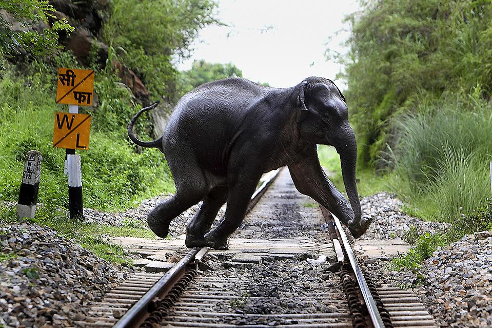 7) Дикий слон переходит железнодорожный путь недалеко от заповедника на окраине Гувахати, в индийском штате Ассам. Слон отстал от своих сородичей, которые возвращались в горы. (Anupam Nath/Associated Press)