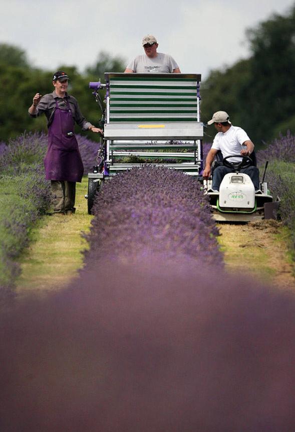 11) На органической ферме используются специализированные комбайны для уборки лаванды, после чего лаванда направляется непосредственно в аппарат, где проходит выжимка масла с помощью естественного, парового процесса дистилляции без использования химии. (Dan Kitwood/Getty Images)