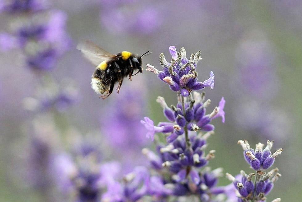 2) Пчела садится на цветок лаванды на органических полях в Мейфилде 26 июля недалеко от Саттона, Англия. Лаванду в этой области графства Суррей выращивают с 17 века. (Dan Kitwood/Getty Images)