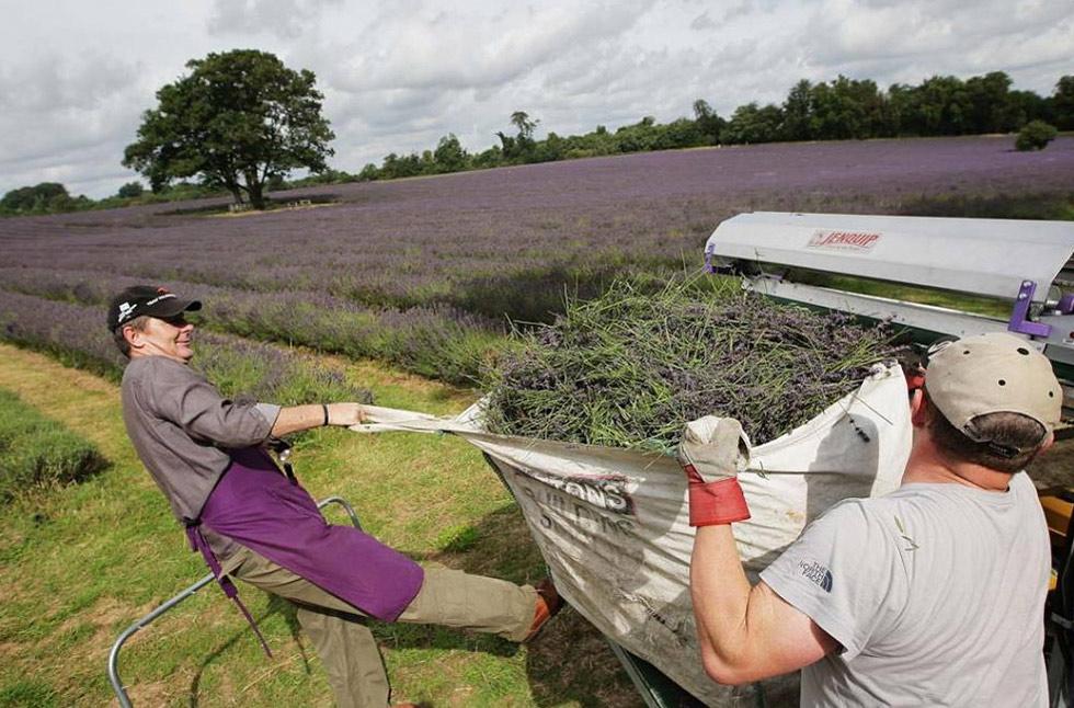 5) Машина на службе человека во время уборки урожая лаванды на органических полях в Мейфилде 26 июля. (Dan Kitwood/Getty Images)