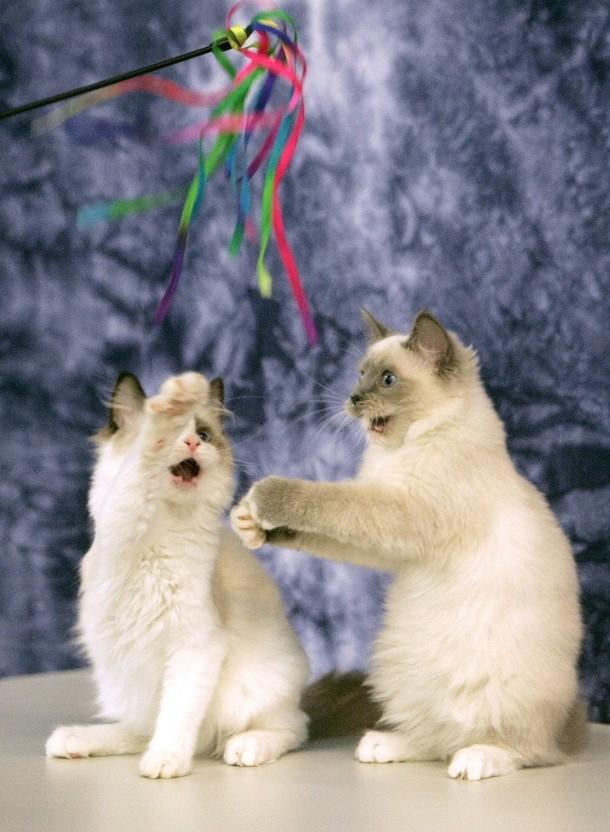) Котята играют во время двухдневной международной выставки в Праге, которая проходит в эти выходные. Снимок сделан 25 июля 2009. (REUTERS/David W Cerny)