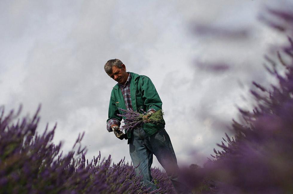 6) Работник увязывает срезанную лаванду в пучки на органических полях в Мейфилде, расположенных на холмах Суррея, менее чем в 25 км от центрального Лондона. (Dan Kitwood/Getty Images)