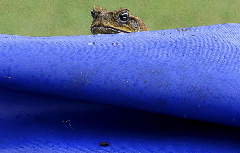 34) Жаба на брезентовом покрытии поля для крикета в Санта-Лючии, где 5 июля проходил матч по крикету между Индией и Вест-Индией. (AP Photo/Andres Leighton)