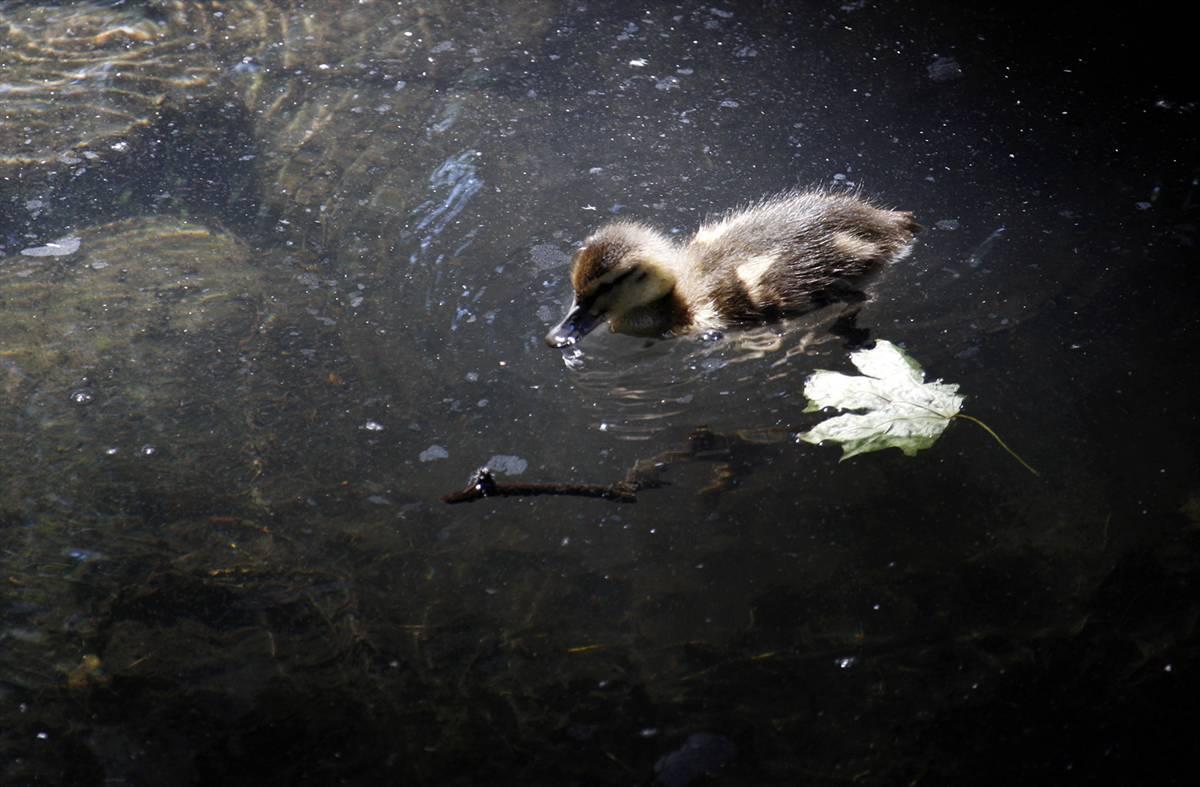 11) Утенок плавает в пруду жарким и солнечным летним днем в Киевском зоопарке. (Gleb Garanich/Reuters)