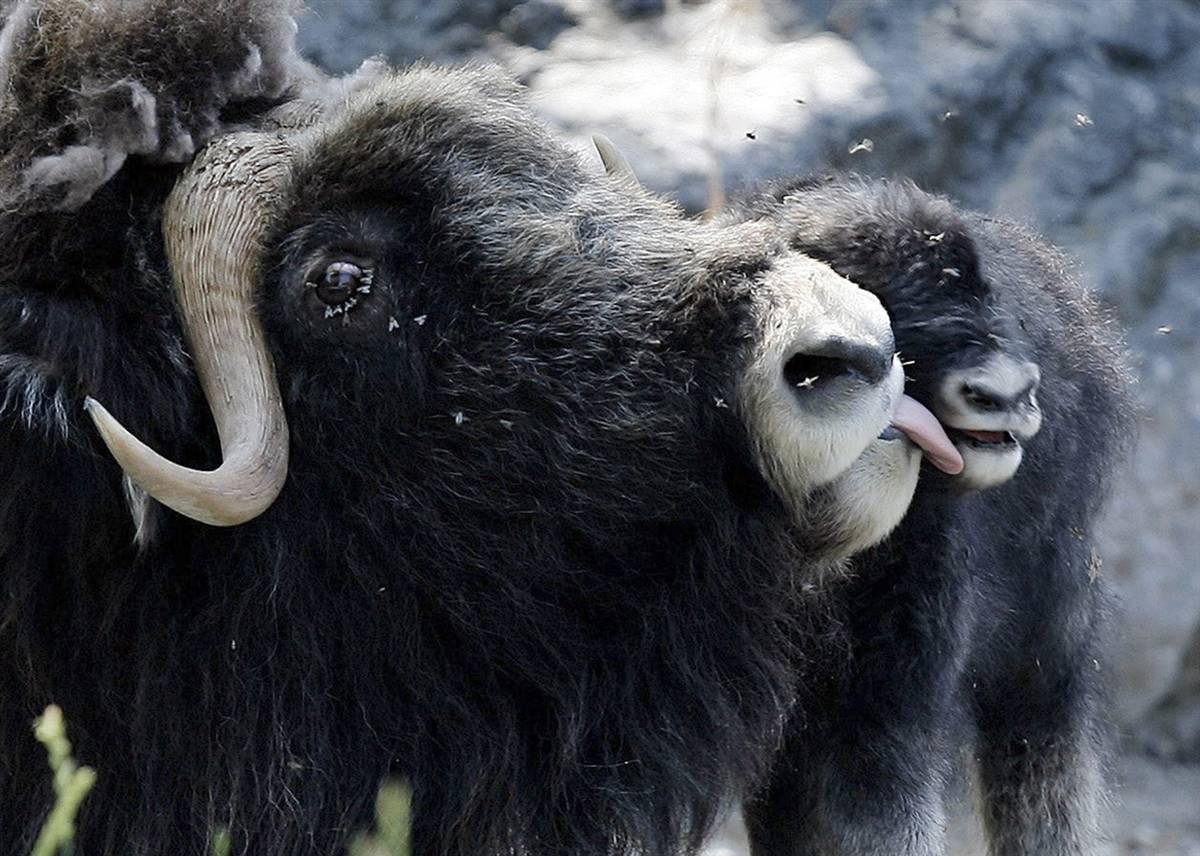 10) Самка овцебыка вылизывает своего новорожденного теленка в зоопарка Daehlhoelzli в Берне, Швейцария. (Peter Klaunzer/AP)