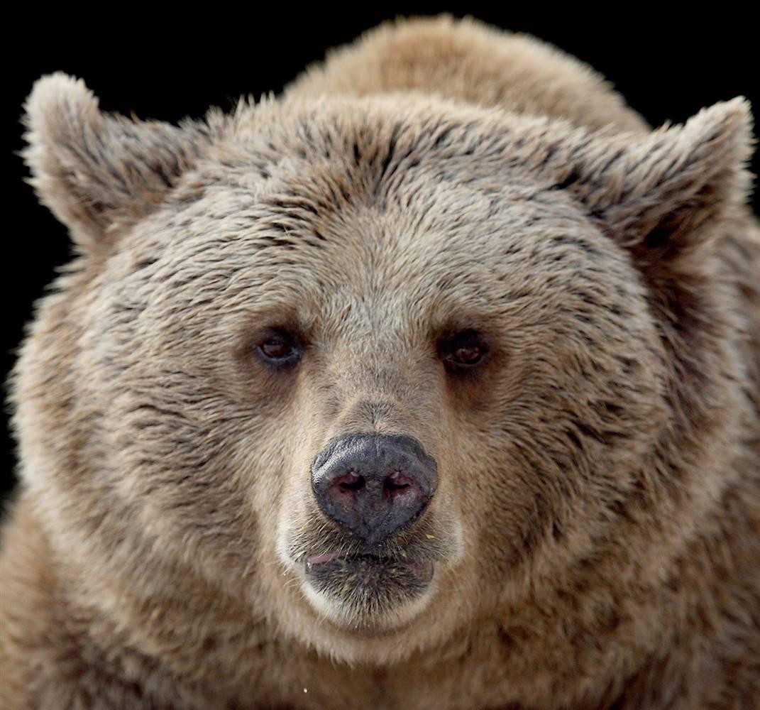 8) Медведь радуется снегу и ледяным скульптурам, которые недавно поставили в зоопарке в Мельбурне. Снег был доставлен с горнолыжного курорта горы Буллер в качестве рекламной акции. (Lucas Dawson/Getty Images)