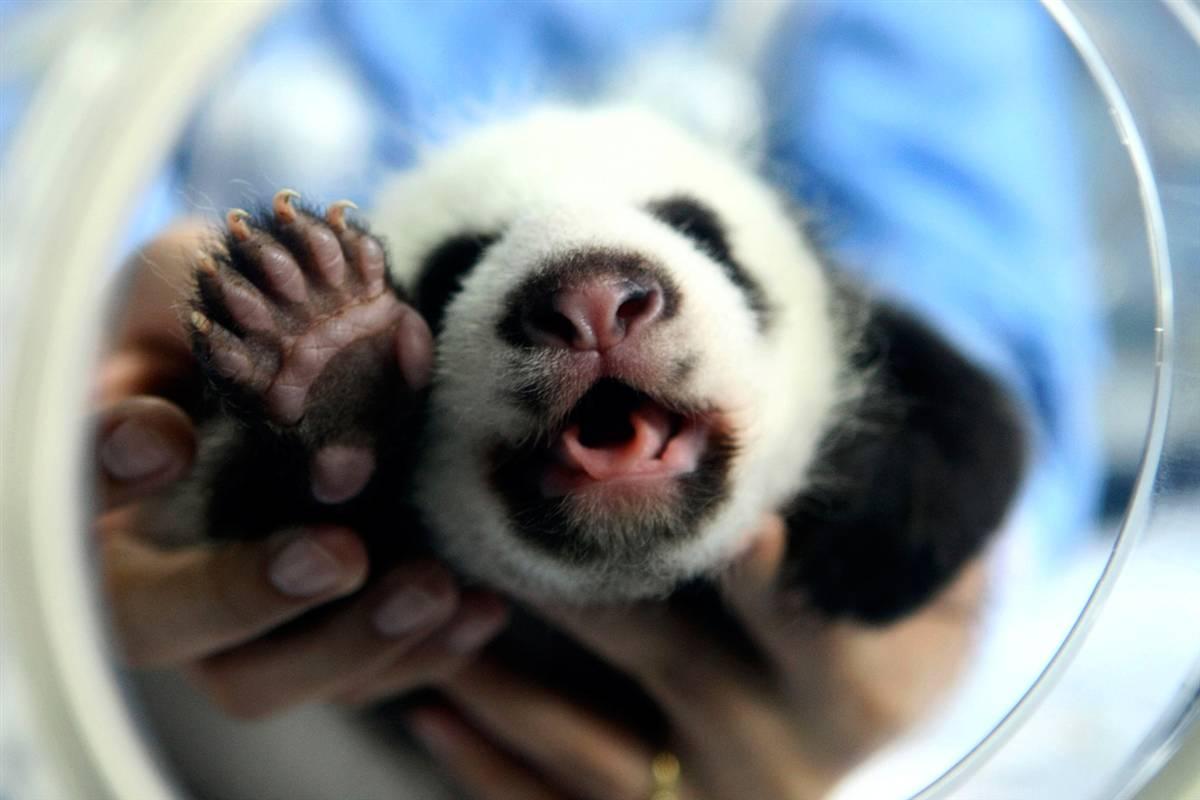 6) Ветеринар несет детеныша панды Лин Хуи в зоопарке Чианг Май на севере Таиланда. Лин Хуи, самка панды из Китая, родила детеныша в Таиланде на 27 мая после второй попытки искусственного оплодотворения. (Stringer/thailand/Reuters)