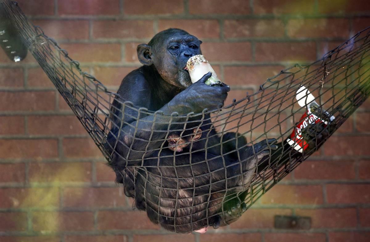5) Шимпанзе облизывает ледышку с арахисом и фруктами в DierenPark Amersfoot, зоопарке в голландском городе Амерсфорте. Подобное угощение дали животным специально, чтобы помочь им перенести жару. (Robert Vos/EPA)