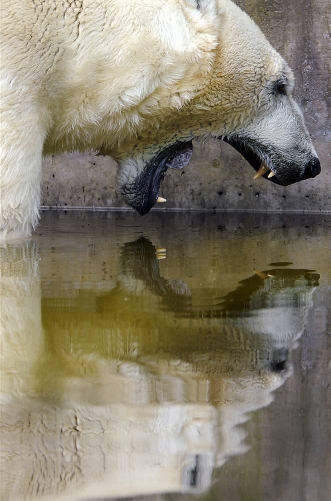 4) Полярный медведь купается в бассейне во время летнего зноя в зоопарке в Мюнхене. (Christof Stache/AP)