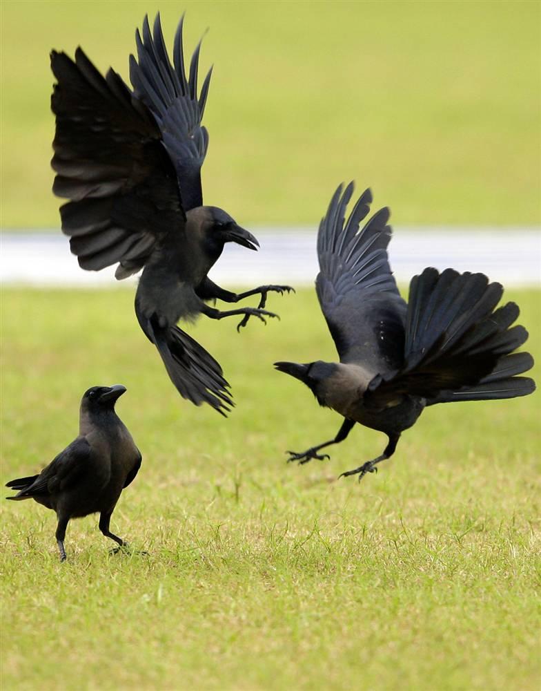 3) Вороны дерутся на спортивном поле во время отборочного матча по крикету между Шри-Ланкой и Пакистаном в Галле, Шри-Ланка. (Gurinder Osan/AP)