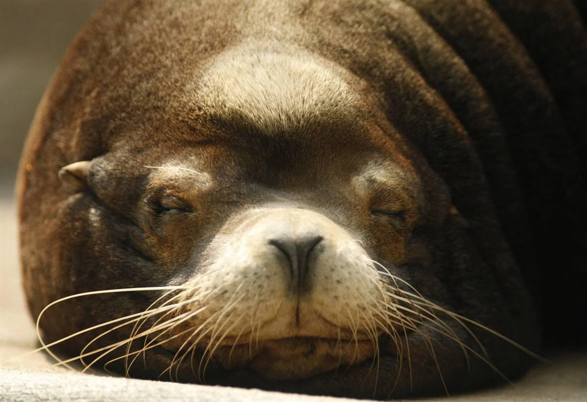 1) Калифорний морской лев лежит в зоопарке в немецком городе Вупперталь. (Ina Fassbender/Reuters)