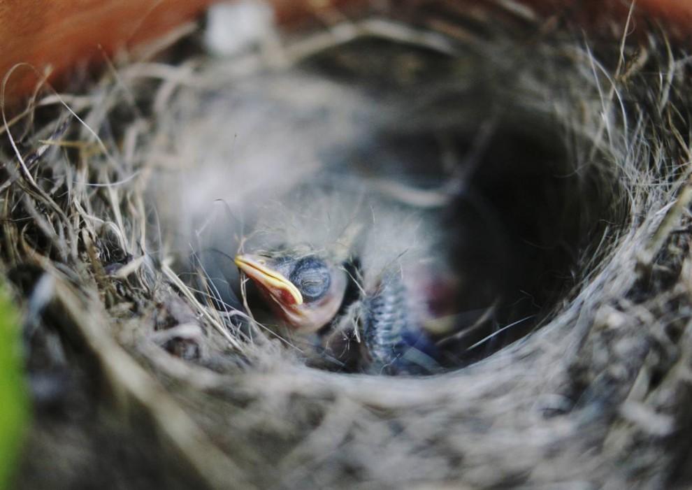 Птенцы соловья картинки