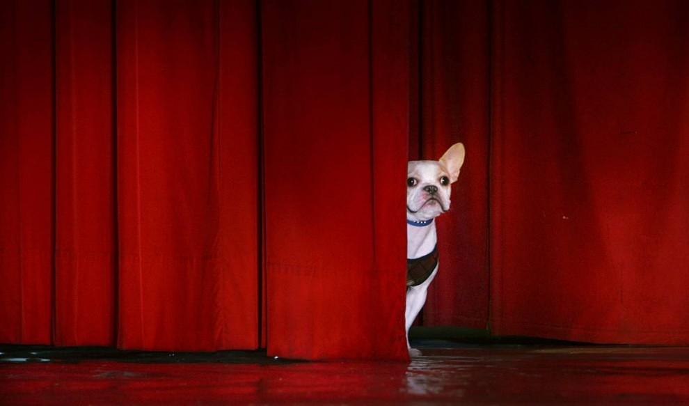15) Французский бульдог выглядывает из-за занавеса на сцене перед началом показа мод для собак в Тайбэе, Тайвань. Лучшие компании Тайваня по производству одежды для собак организовали фешн-шоу, чтобы продемонстрировать свои последние коллекции. (Wally Santana/Associated Press)