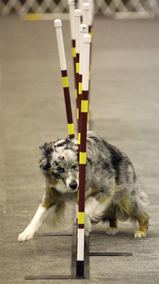 13) Роуди, австралийская овчарка, которая принадлежит Кэти Вуттон из Англетона, штат Техас, выступает во время собачьих соревнований на выставке собак в Хьюстоне. (Melissa Phillip/Houston Chronicle via AP)