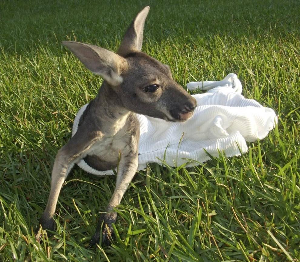 12) Скиппи, 6-месячный красный кенгуру, выглядывает из своего искусственного кармана в городе Фолсом, штат Луизиана. Еще совсем маленьким Скиппи выпал тогда его нашли в вольере для кенгуру во Всемирном центре дикой природы, он был лысый и беспомощный, и был даже не в состоянии перевернуться. (Global Wildlife Center via AP)
