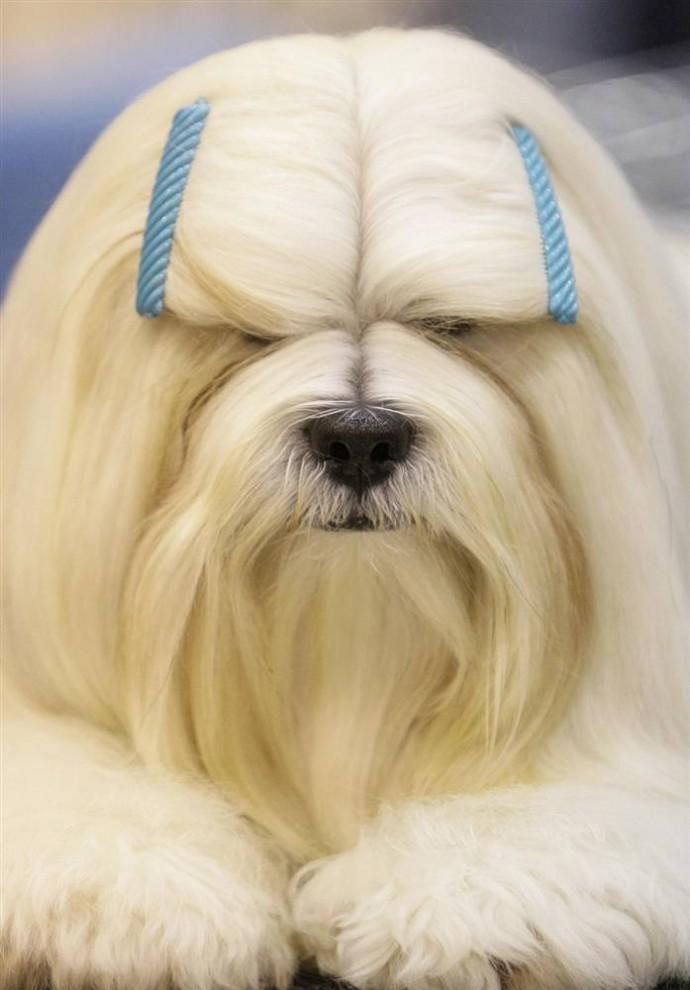 11) Джастин, собака породы лхаса апсо (тибетская декоративная) которая принадлежит Мимми Тумппила из Финляндии, во время выставки собак в Хьюстоне. (Melissa Phillip/Houston Chronicle via AP)