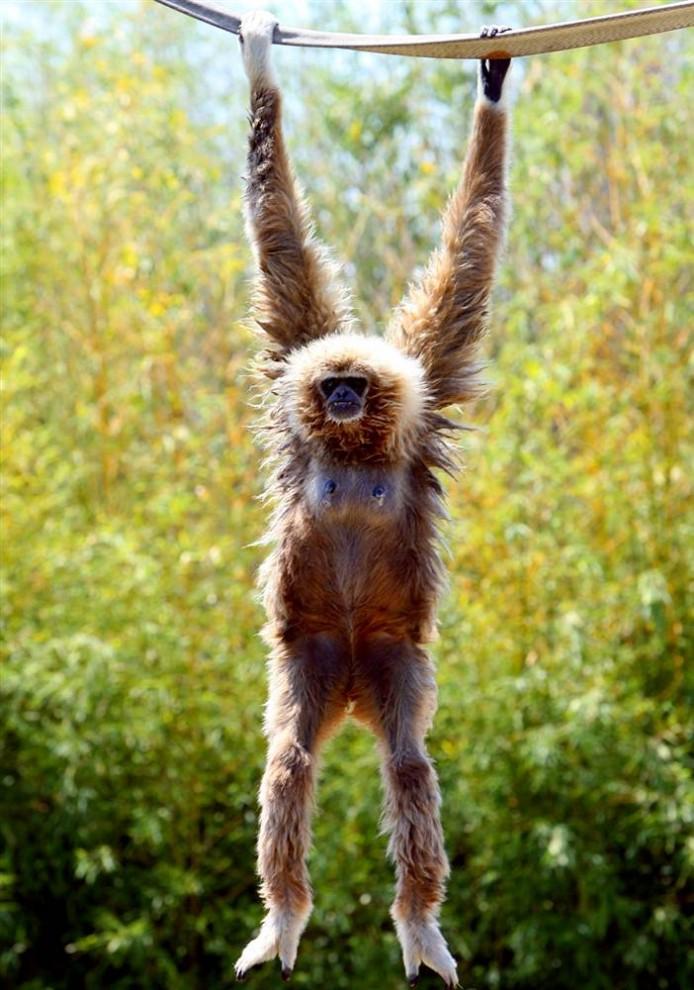 10) Работники зоопарка нашли Миху, 15-летнюю самку гиббона, в ужасном состоянии, после того, как два ее новорожденных детеныша были похищены 14 июля. Миха живет в зоопарке города Frejus, на юге Франции. (Stephane Danna/AFP - Getty Images)