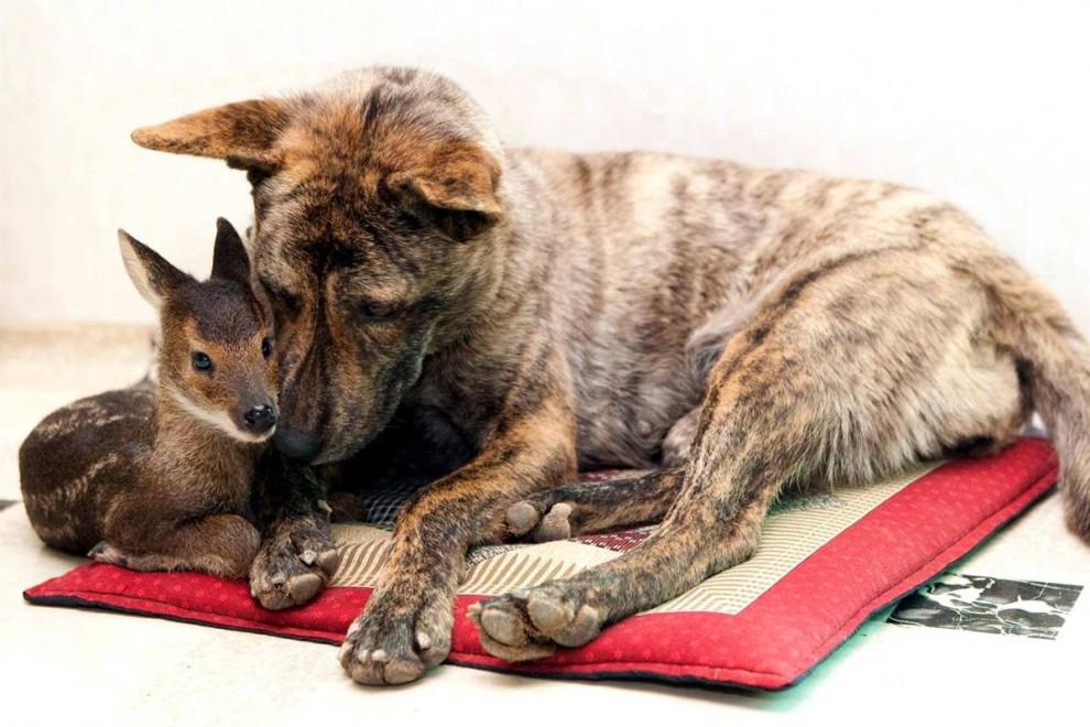 9)  Эта собака усыновила лосенка, которого спас от наводнения фермер в южно-корейском городе Инчже. Собака охраняет лосенка и кормит его своим молоком. (Inje Municipal Government/Hand/Inje Municipal Government via EPA)