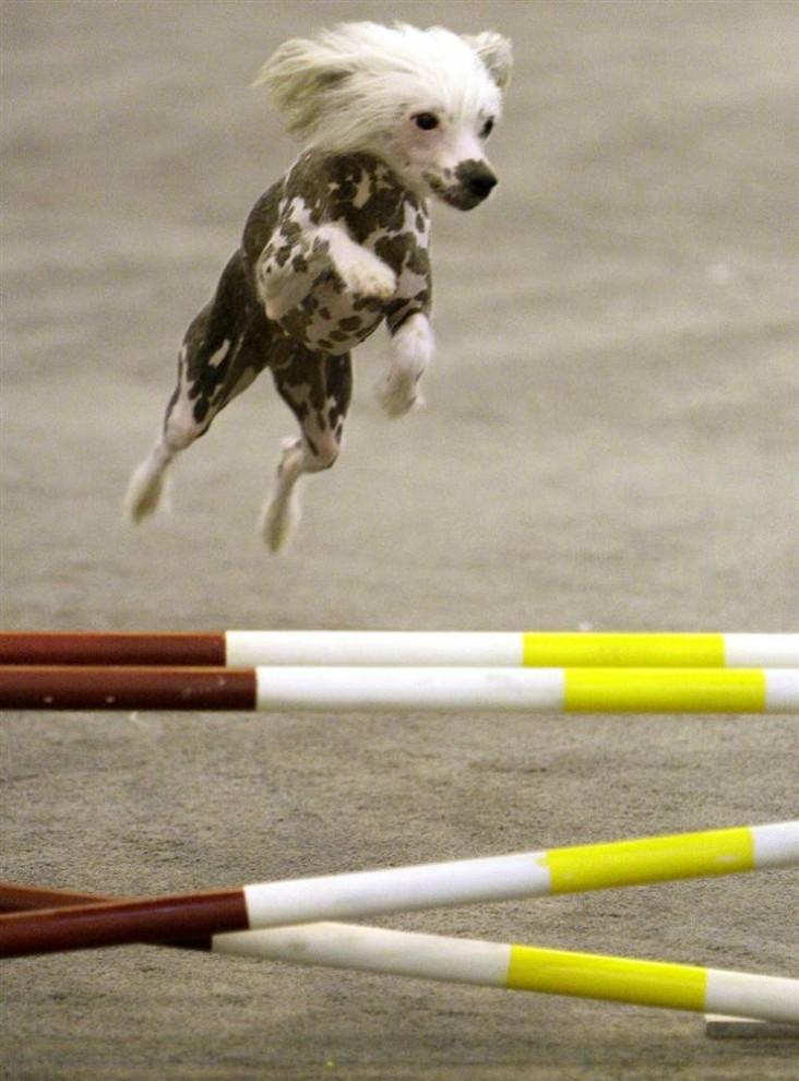 7) Пешн, китайская хохлатая собачка, принадлежащая Аннет Янис из Кети, штат Техас, выступает во время собачьих соревнований на выставке собак в Хьюстоне.. (Melissa Phillip/Houston Chronicle via AP)