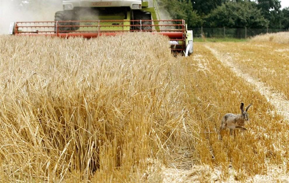 6) Заяц убегает от комбайна на ячменном поле в Neukirchen-Vluyn, Германия. (Roland Weihrauch/EPA)