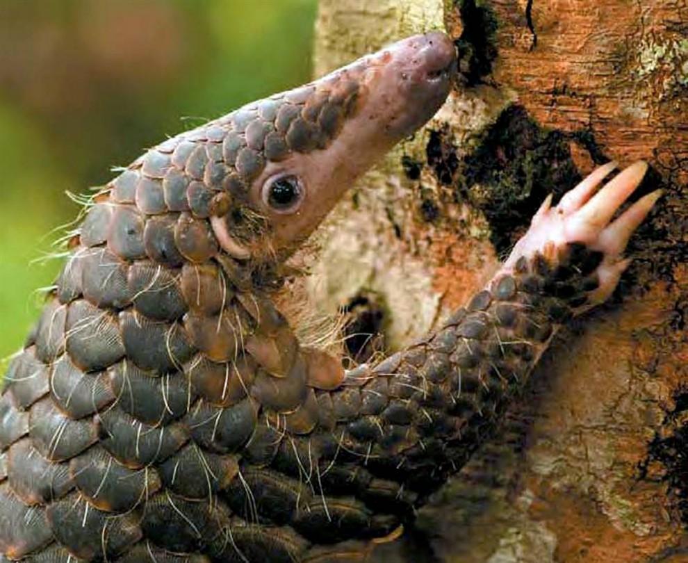 5) Панголин, известный также как чешуйчатый муравьед, поднимается на дерево. Этому виду животных, проживающих в Юго-Восточной Азии и поедающих паразитов, грозит вымирание, поскольку панголины являются наиболее частыми объектами охоты в Китае. Эксперты считают, что правительство должно делать больше для того, чтобы защитить этих маленьких существ. (Bjorn Olesen/AFP - Getty Images)