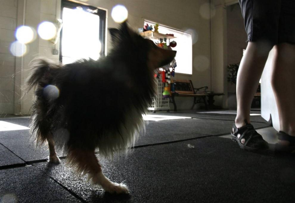 4) Дэа, двуногая собака породы шелти, отряхивается от воды после купания. Дэа родился со всеми четырьмя лапами, но одну лапу ему откусили, а вторую он сломал в нескольких местах, и ее пришлось ампутировать. Теперь его владелец, Тами Скиннер, использует Дэа в терапии для людей с ограниченными возможностями. (Rick Wilking/Reuters)