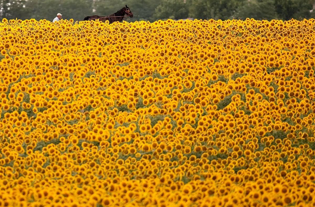 3) Запряженная повозка у поля подсолнухов под Бухарестом, 4 июля. (Vadim Ghirda/AP)