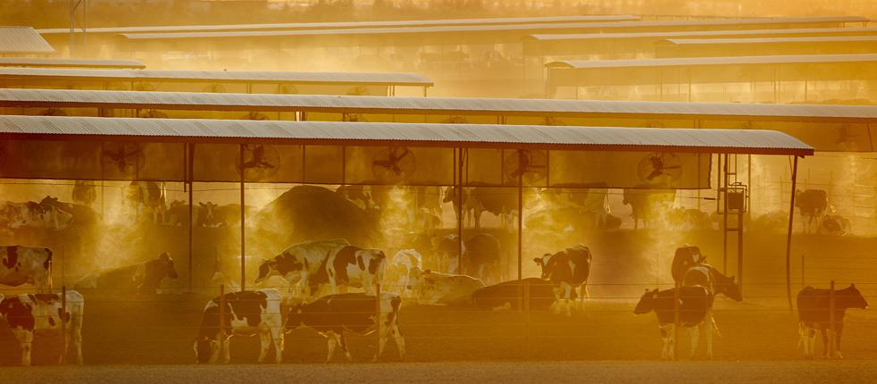 6) Молочные коровы стоят под мелкокапельными опрыскивателями для охлаждения скота 9 июля, в городе Жильбер, штат Аризона. В те выходные температура достигла отметки 43ºС (AP/Matt York)