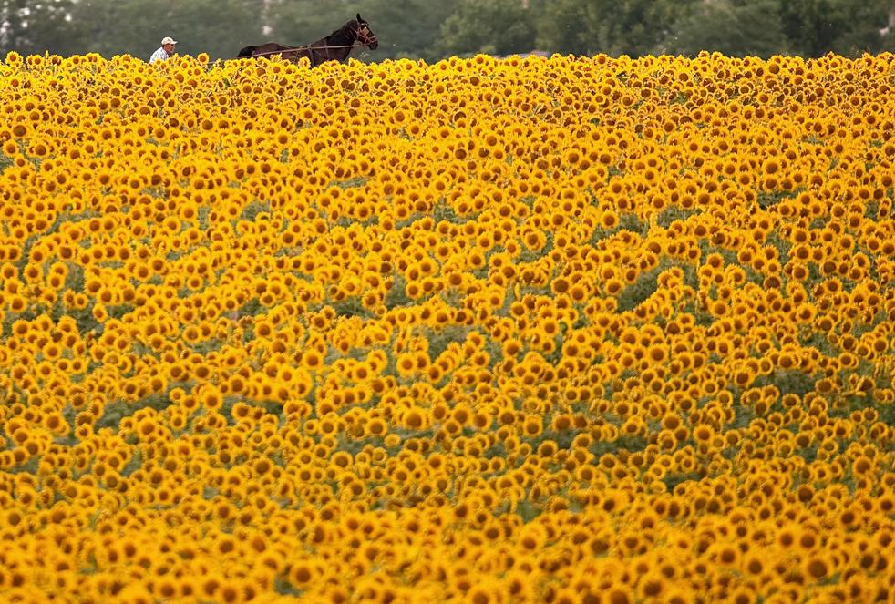 7) Запряженная повозка у поля подсолнухов недалеко от Бухареста во второй половине дня 4 июля. (AP/Vadim Ghirda)